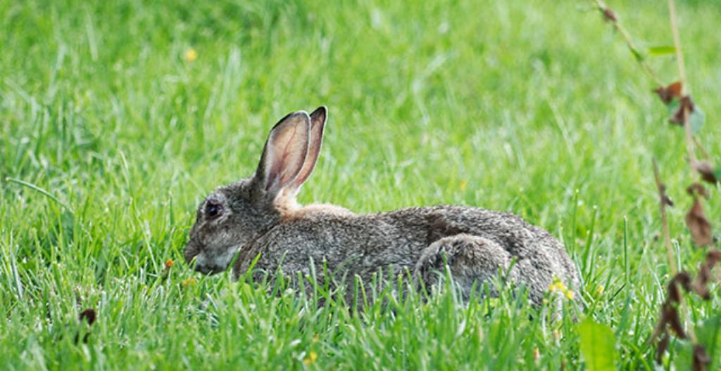 En gråbrun kanin syns inte så bra i naturen, för den har bra skyddsfärg.